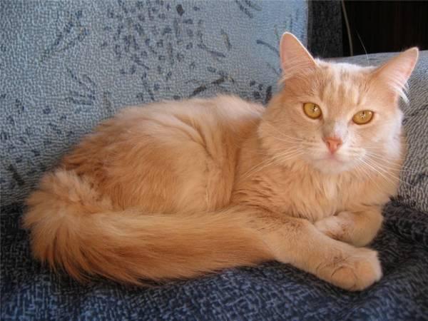 коты персикового окраса пушистые если она