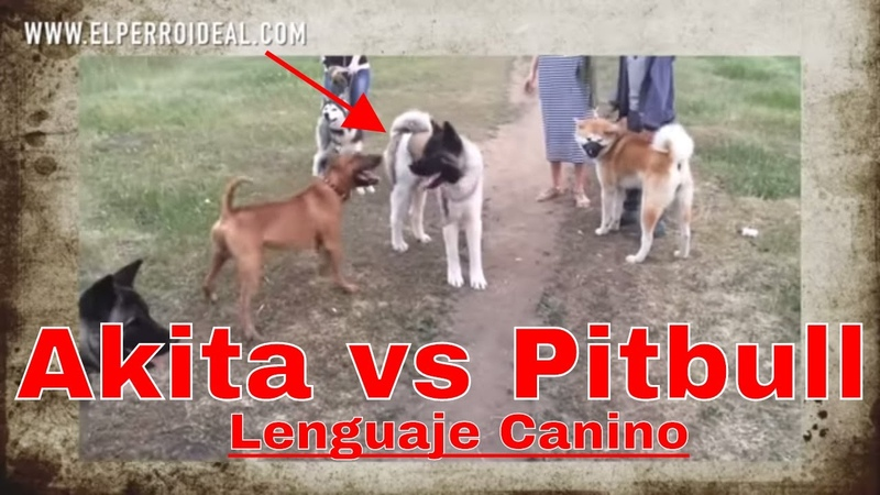 🔥Reacción de p3l3a de un Akita Americano vs Pitbull🔥