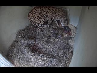 Ученые записали на камеру, как пятилетняя самка гепарда по имени Эхо родила детенышей