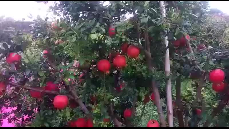 Pomegranate Best Farm DADAM FARM 360P mp4