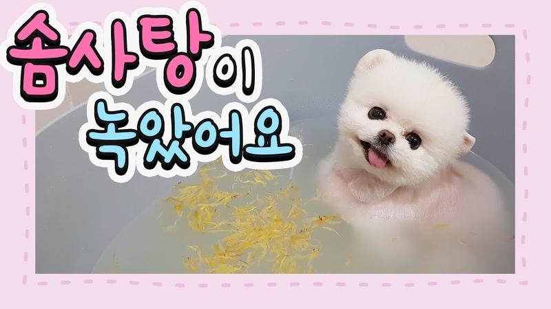 솜사탕이 녹았어요 입욕 시켜달라고 조르는 강아지 포메라니안 강아지유 5