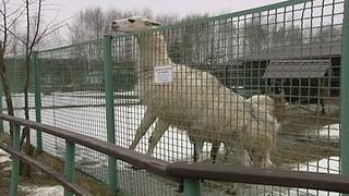 У ламы Санчо из Ярославского зоопарка появились две подружки