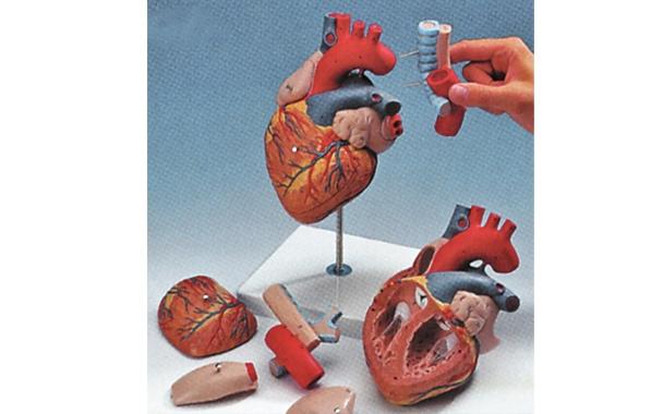 Модель сердца с пищеводом и трахеей, увеличенная в 2 раза