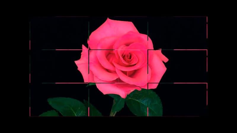 розы Леночке
