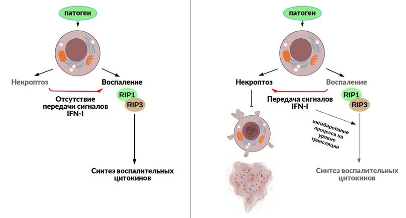 Конститутивная активация сигнального пути, запускаемого интерфероном первого типа (IFN-I), определяет решение клеток активировать клеточную смерть или ответить индукцией синтеза воспалительных цитокинов