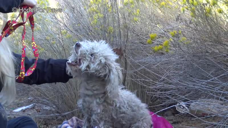 Badly injured stray poodle bites Hope For Paws rescuer and sends her to urgent c