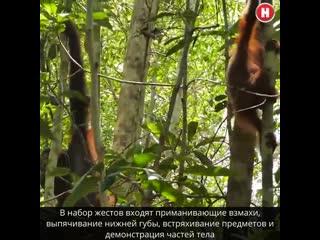 Биологи раскрыли секреты языка орангутангов