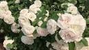 Roses Garden of Eden!