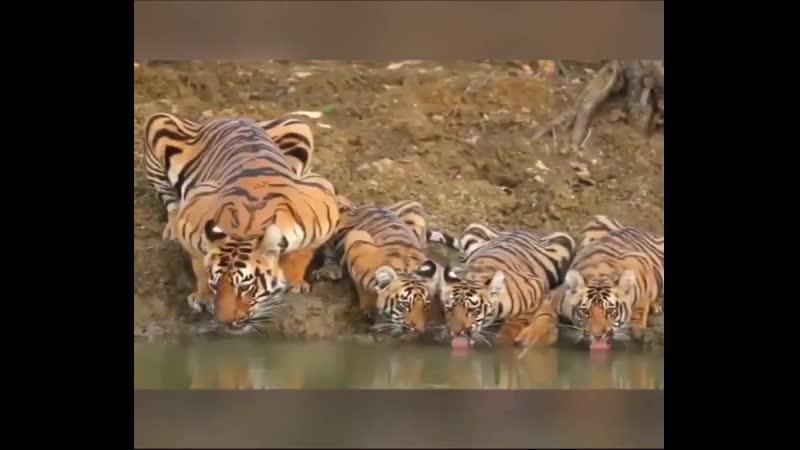 тигры лакают воду