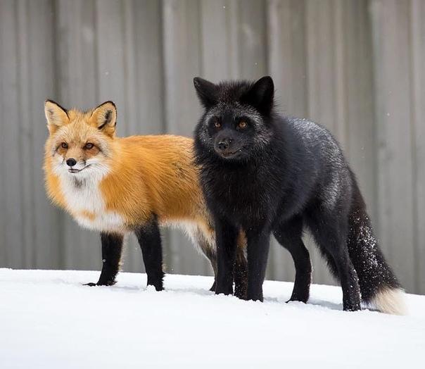 Фото лисы чернобурки прикольные