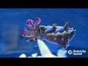 The Impossibly Colorful Flamboyant Cuttlefish