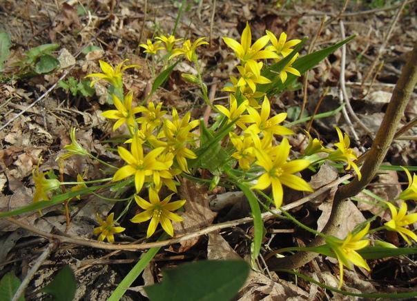 Гусиный лук Весной на полянке даже в городском парке распускаются маленькие жёлтые цветочки на тонком стебельке. Называют это растение гусиный лук. Почему Говорят, что гуси обожают лакомиться
