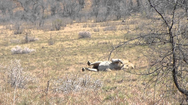 Lion has seizure after chasing wildebeest.