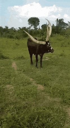 A 3 horned bull Or Cow Found In Uganda GIF Gfycat