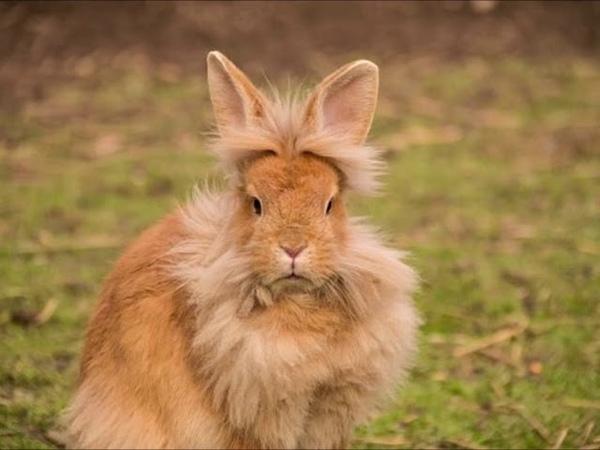 Tiernos conejos cabeza de leon