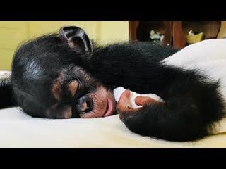 "Baby Chimp Rescue: Season 1, Episode 2 ""Breaking Point"" (BBC Two 2020 UK)(ENG/SUB ENG)"