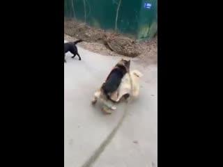 Рэпер Guf натравил свою собаку на соседских псов в Подмосковье