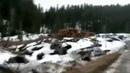 В Горном Алтае уничтожается и вывозится в Китай кедровый лес