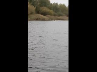 Лось на реке в Калининградской области