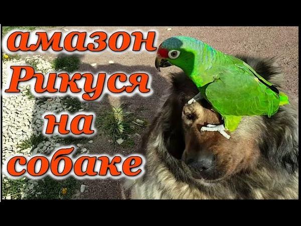 Попугай Амазон Краснолобый Рикко гуляет с кошкой и собакой