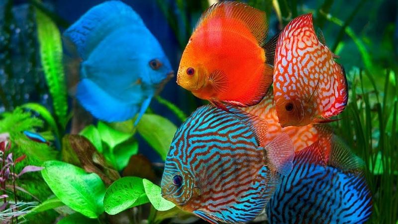 Discus Fish, The King of Freshwater AquariumTank