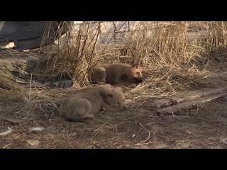 «Марий Эл ТВ»: Лесных животных тоже вакцинируют от бешенства