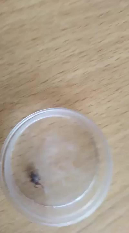 Масло эвкалипта в борьбе с клещами