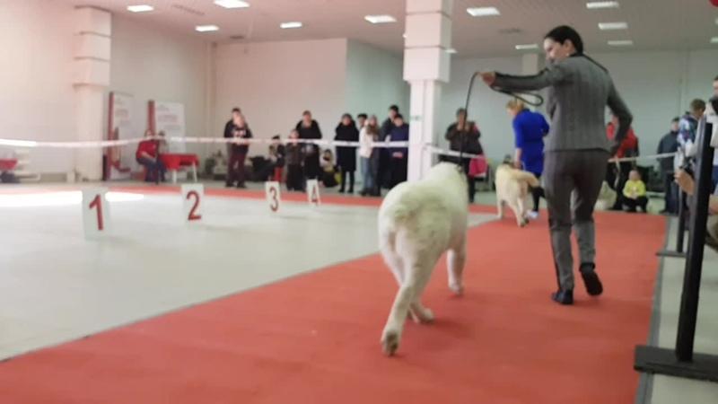 24 марта 2019 Выставка собак в Тобольске, эксперт Гачина О.А.ТИМЕРТАШ ХАБРИНА дочь Леди и Нурика (Тимерташ Железная Леди * Оли