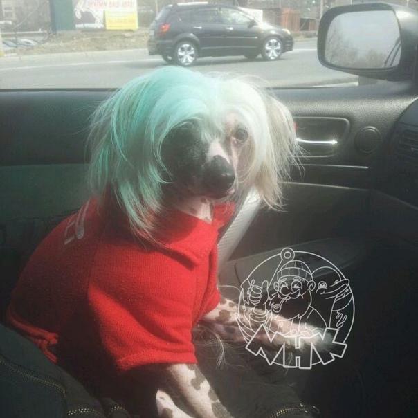 #отподписчикаПропала собака, породы китайская хох...