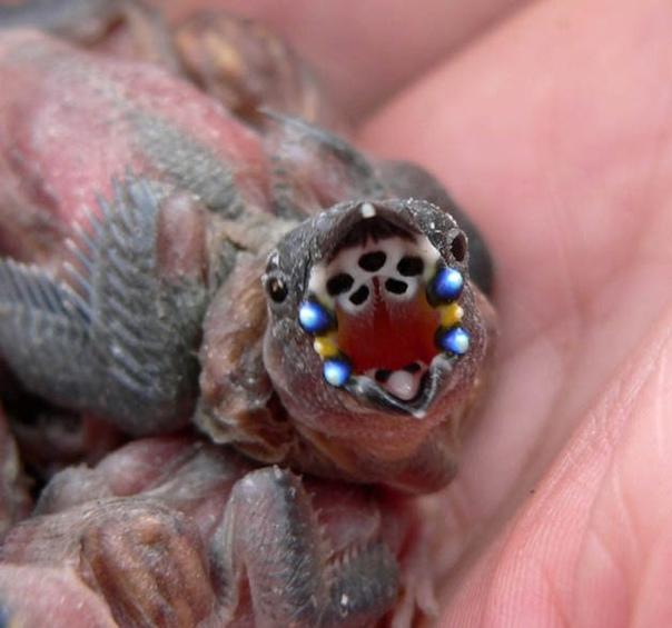 Инопланетные птенцы Гульдова амадина