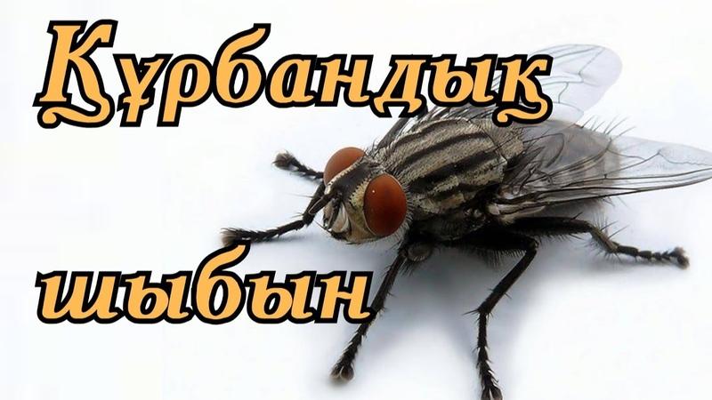 ҚҰРБАНДЫҚ ШЫБЫН