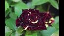 Роза Фокус Покус Чайно гибридная Hocus Pocus Kordes Германия 2000