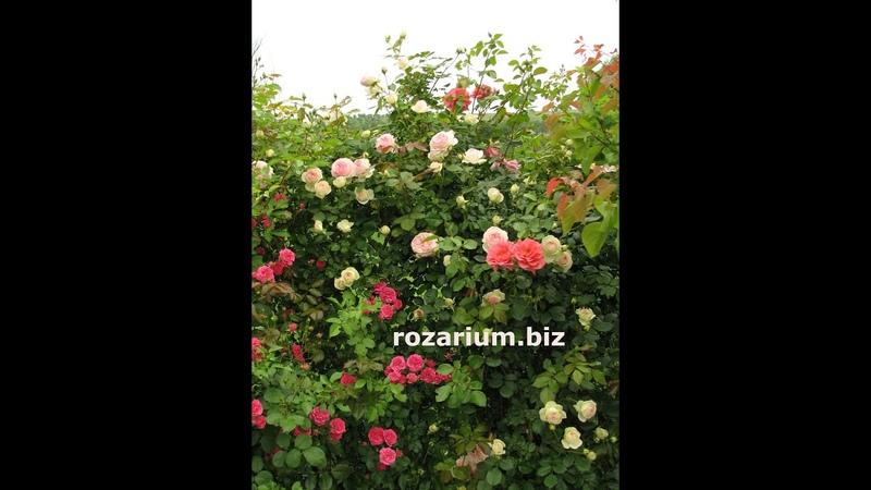 весенняя обрезка розы пьер де ронсар эден розе питомник роз полины козловой